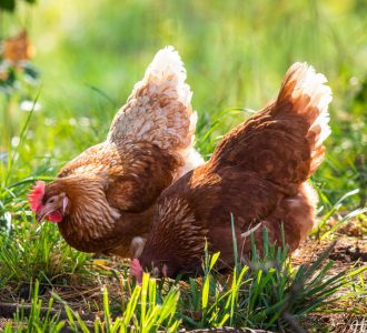 Two red hens pecking at grass.